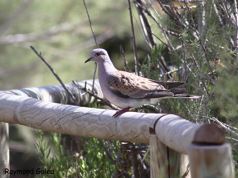 Birdwatching in Malta - Turtle Dove